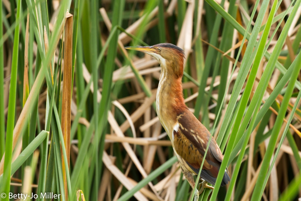 Least Bittern, El Dorado East Regional Park, Long Beach CA