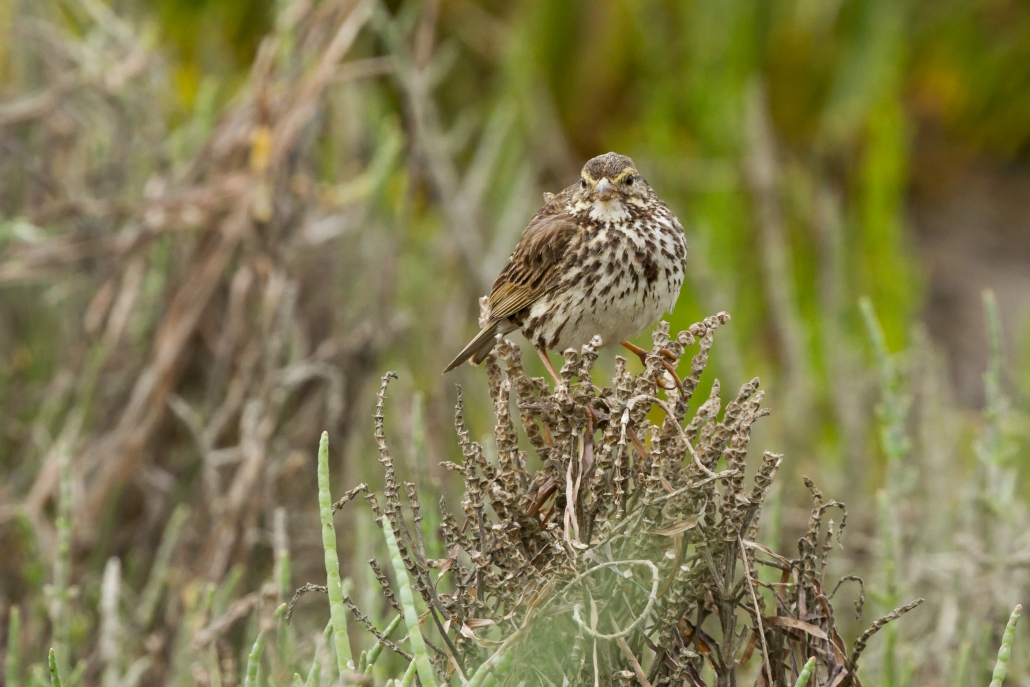 Belding's Savannah Sparrow, Seal Beach National Wildlife Refuge, Seal Beach CA