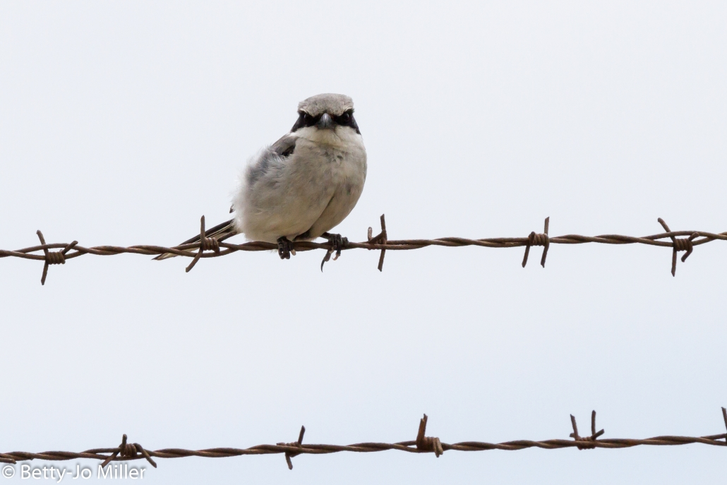 Loggerhead Shrike, Seal Beach National Wildlife Refuge, Seal Beach CA