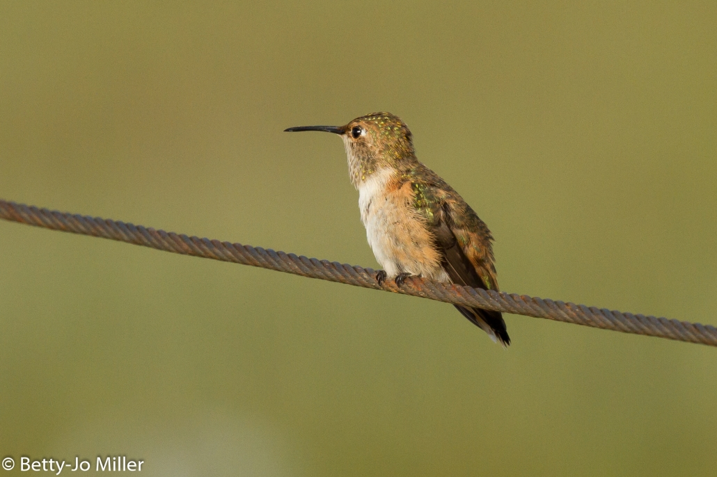 Allen's Hummingbird, Seal Beach National Wildlife Refuge, Seal Beach CA