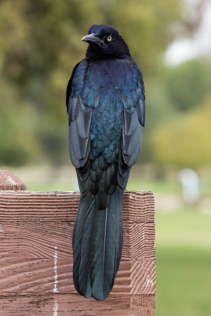 Great-tailed Grackle, El Dorado East Regional Park, Long Beach CA