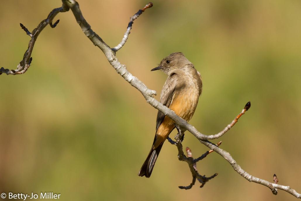 Say's Phoebe, El Dorado East Regional Park, Long Beach CA