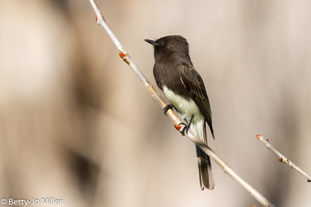 Black Phoebe, El Dorado East Regional Park, Long Beach CA