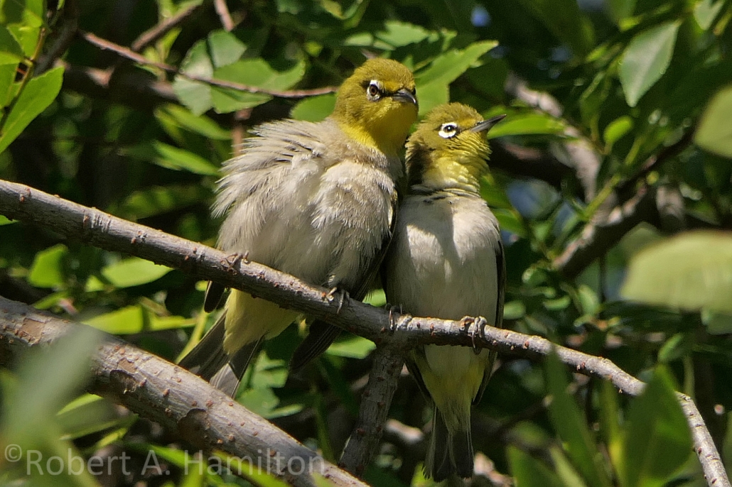 Japanese White-eyes pair preening (non-native), Whaley Park, Long Beach CA