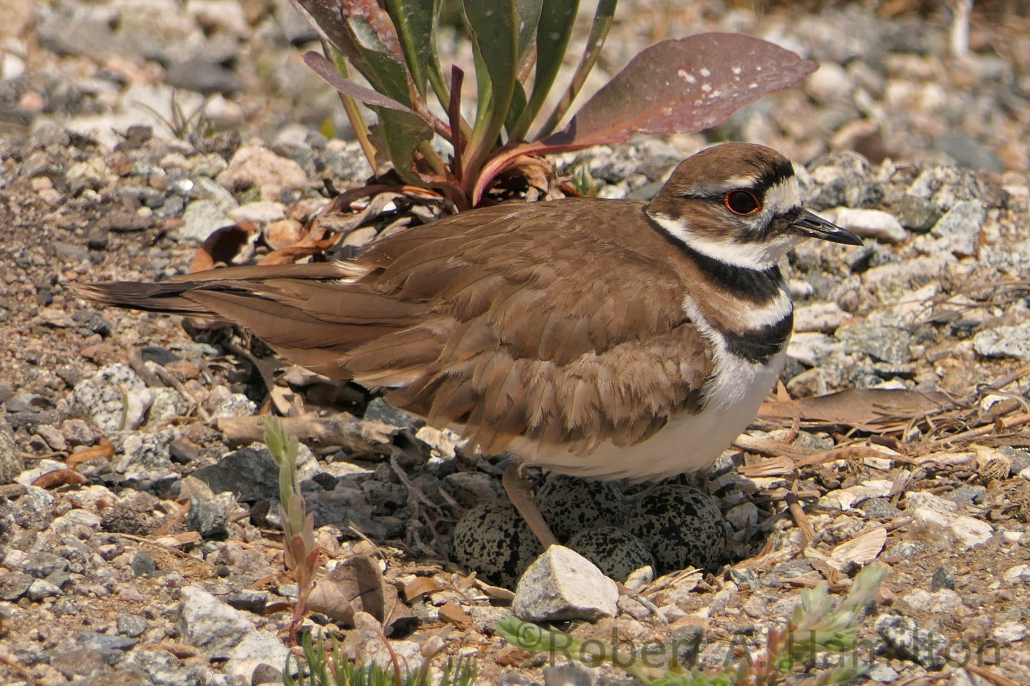 Killdeer, Colorado Lagoon, Long Beach CA