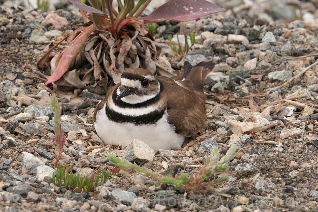 Killdeer, incubating, Colorado Lagoon, Long Beach CA