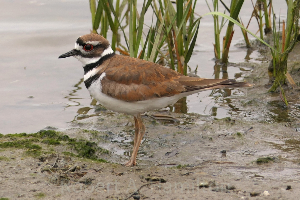Killdeer (male), Colorado Lagoon, Long Beach CA