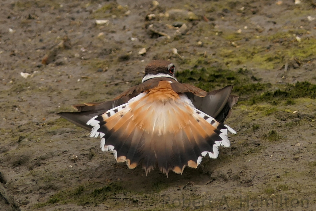 Killdeer, tail distraction display near nest site, Colorado Lagoon, Long Beach CA