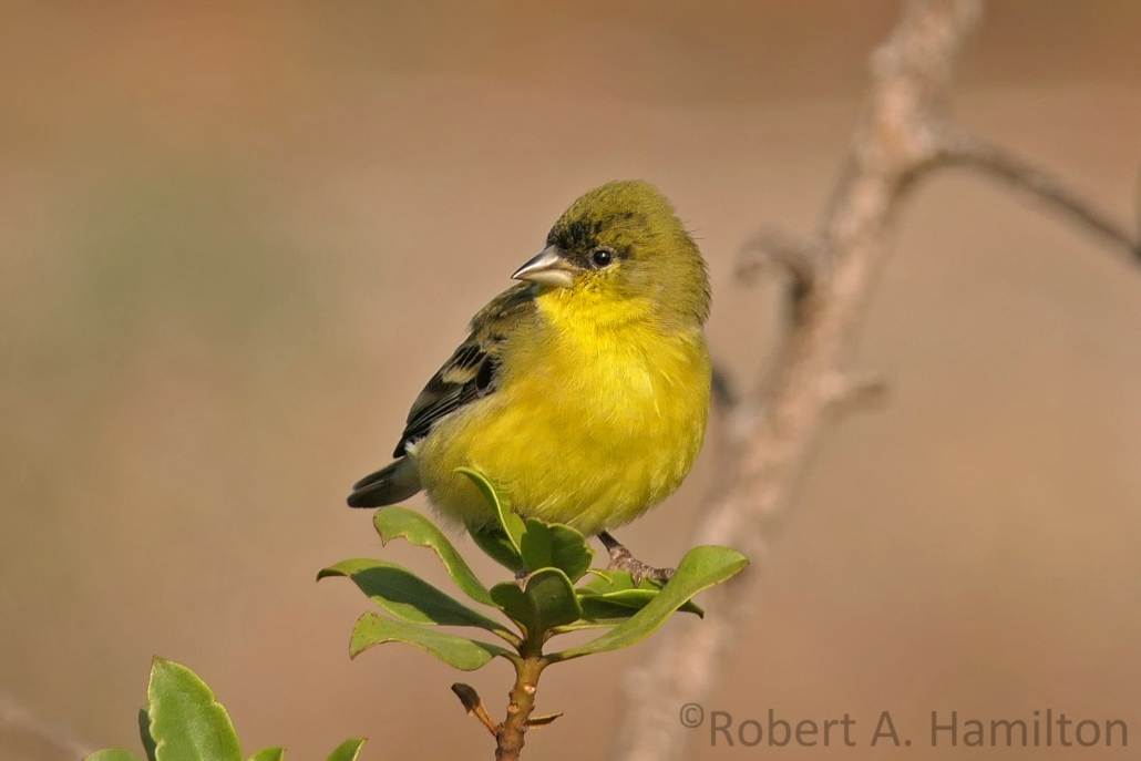 Lesser Goldfinch (male), Los Cerritos Wetlands, Long Beach CA