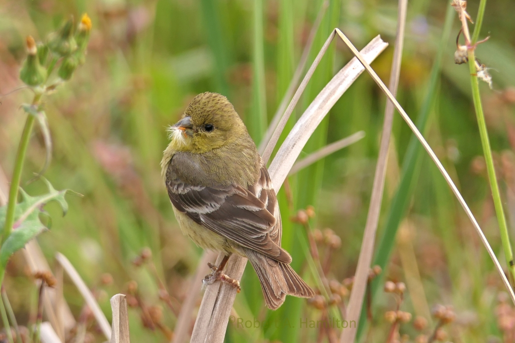 Lesser Goldfinch (female), Colorado Lagoon, Long Beach CA