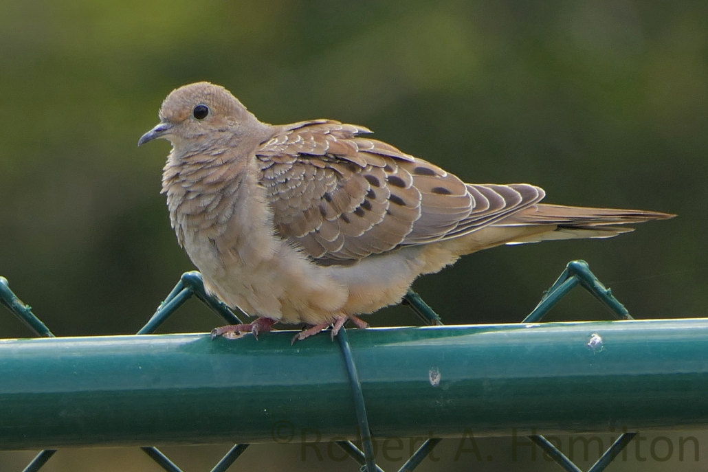 Mourning Dove, Colorado Lagoon, Long Beach CA