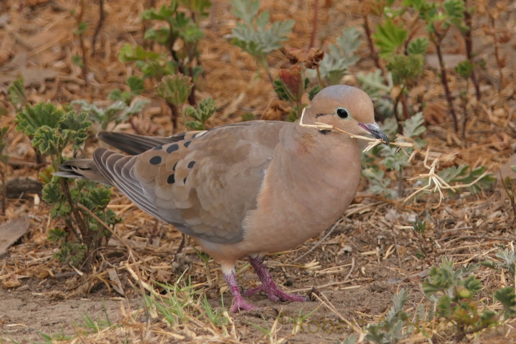 Mourning Dove gathering nesting material, Colorado Lagoon, Long Beach CA
