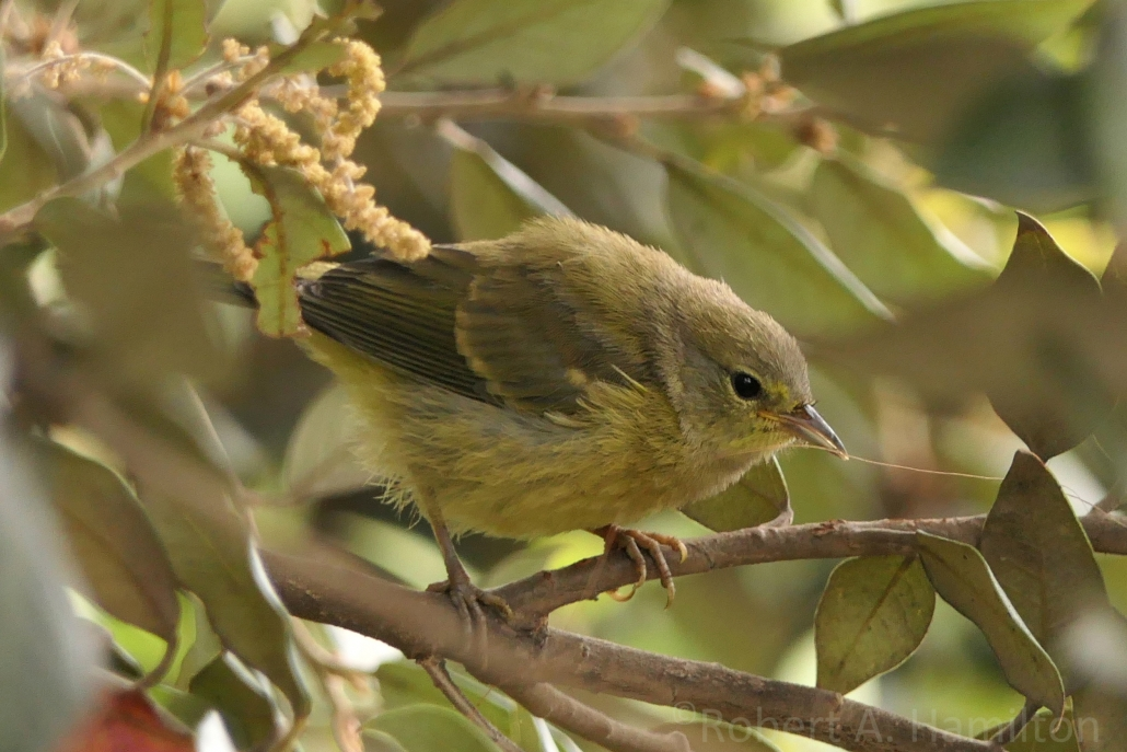 Orange-crowned Warbler (juvenile), Colorado Lagoon, Long Beach CA