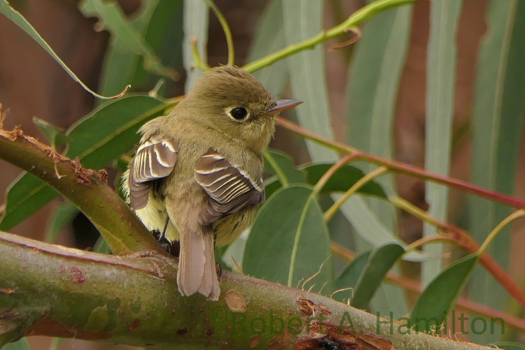 Pacific-slope Flycatcher, Colorado Lagoon, Long Beach CA