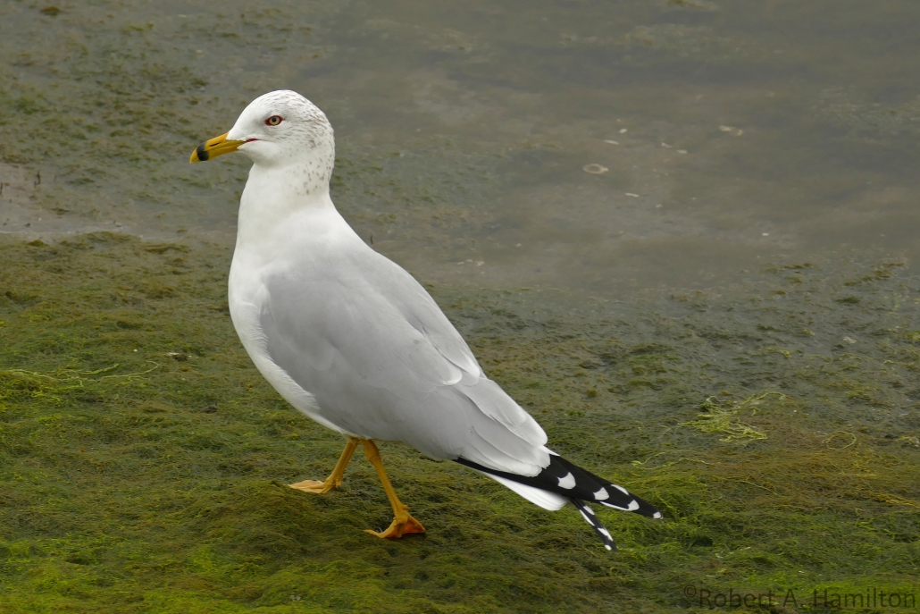Ring-billed Gull, Colorado Lagoon, Long Beach CA