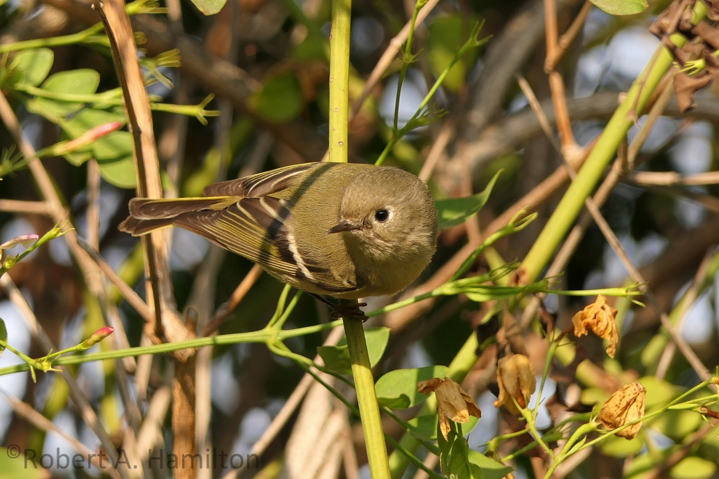 Ruby-crowned Kinglet, Rancho Los Alamitos, Long Beach CA
