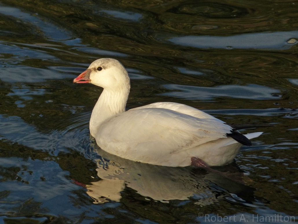 Ross's Goose, Colorado Lagoon, Long Beach CA