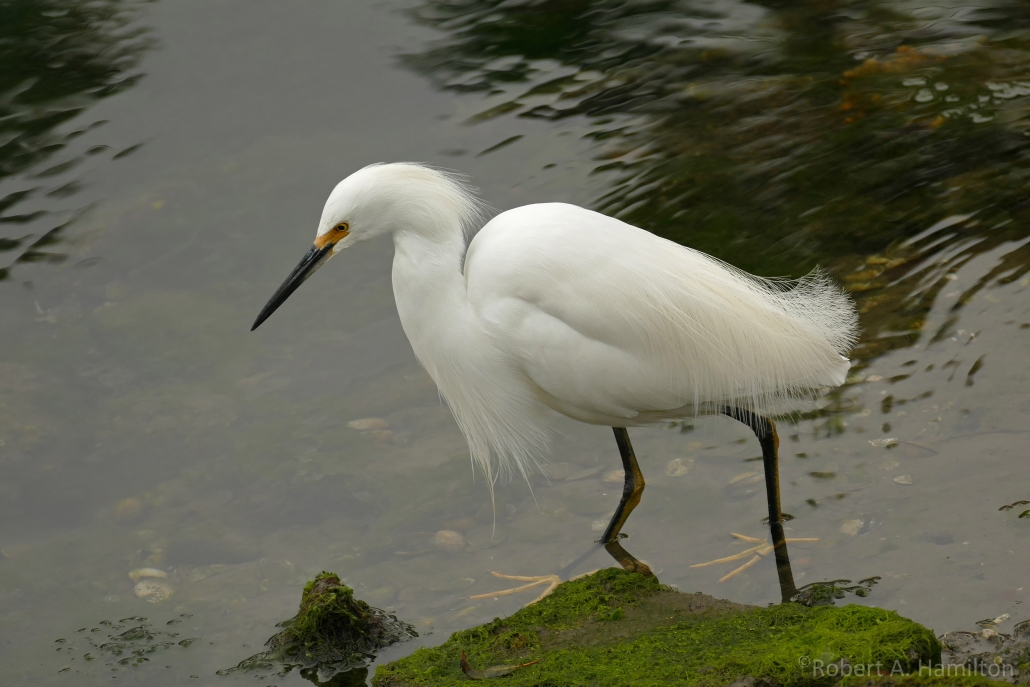 Snowy Egret, Colorado Lagoon, Long Beach CA