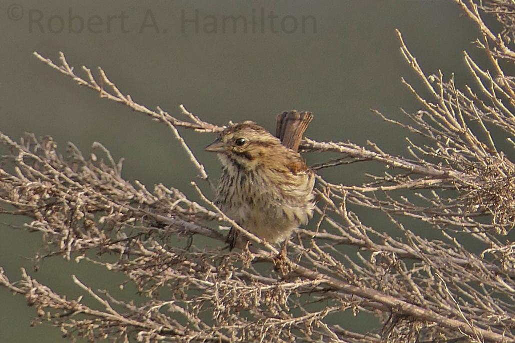 Song Sparrow (juvenile), Colorado Lagoon, Long Beach CA