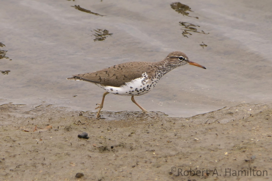 Spotted Sandpiper (adult), Colorado Lagoon, Long Beach CA