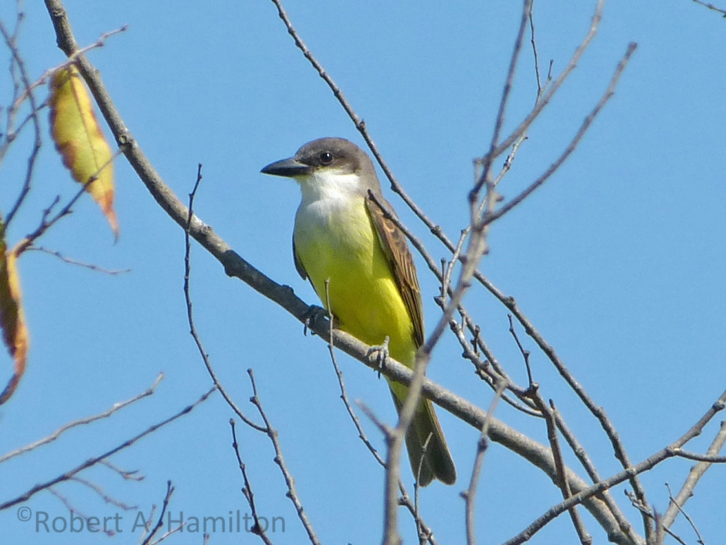 Tropical Kingbird, El Dorado East Regional Park, Long Beach CA