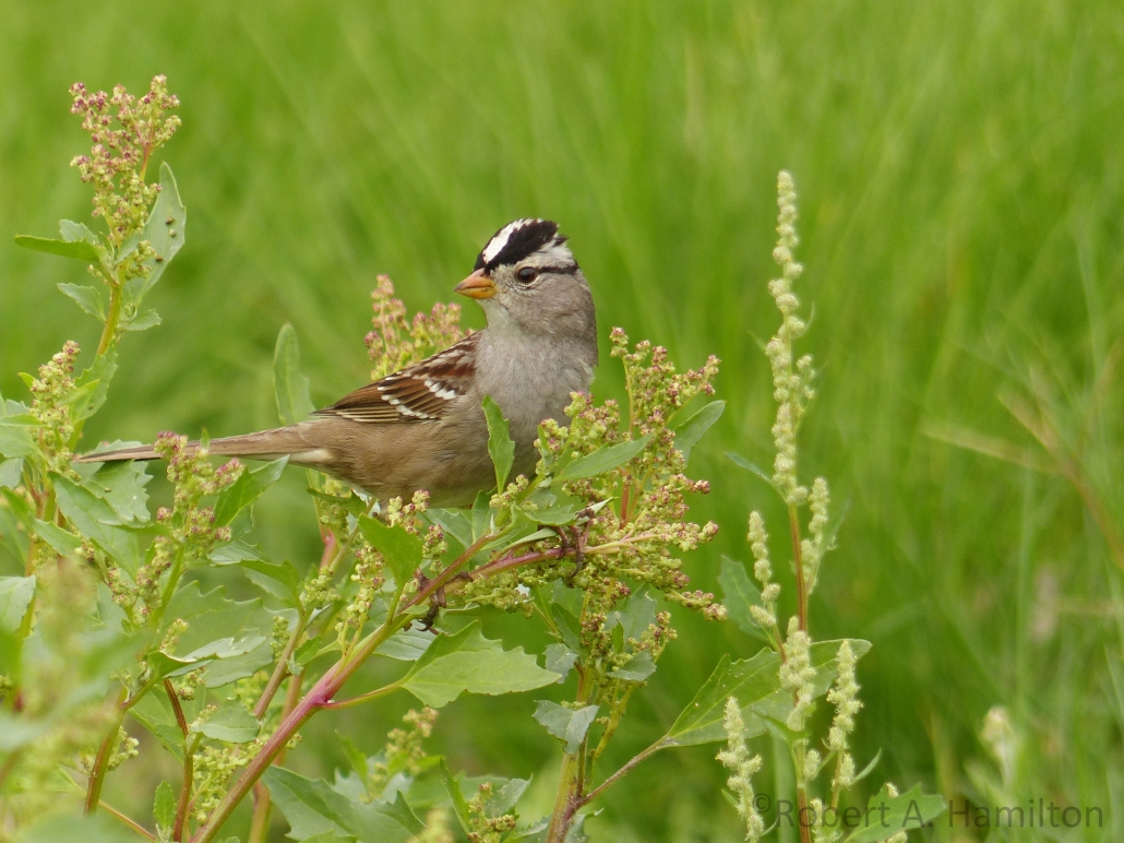 White-crowned Sparrow, West San Gabriel River Trail