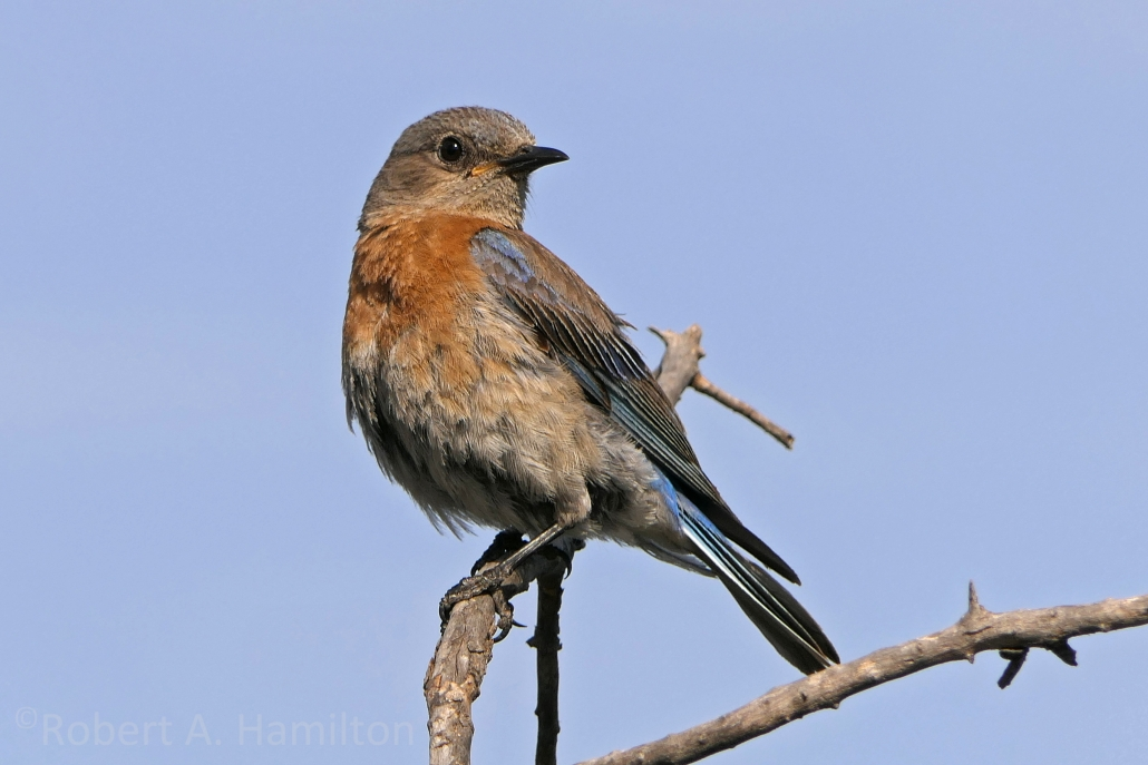 Western Bluebird (adult female), Colorado Lagoon, Long Beach CA