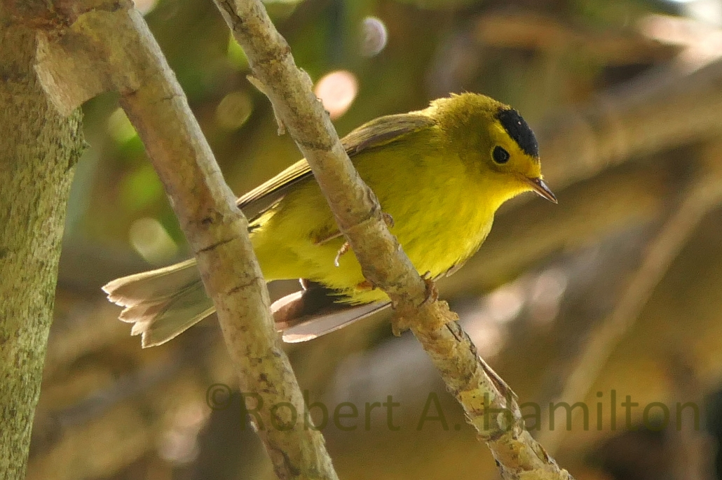Wilson's Warbler, Colorado Lagoon, Long Beach CA