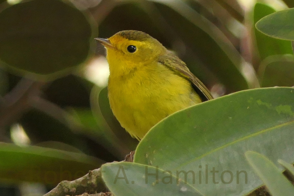Wilson's Warbler (female), Colorado Lagoon, Long Beach CA