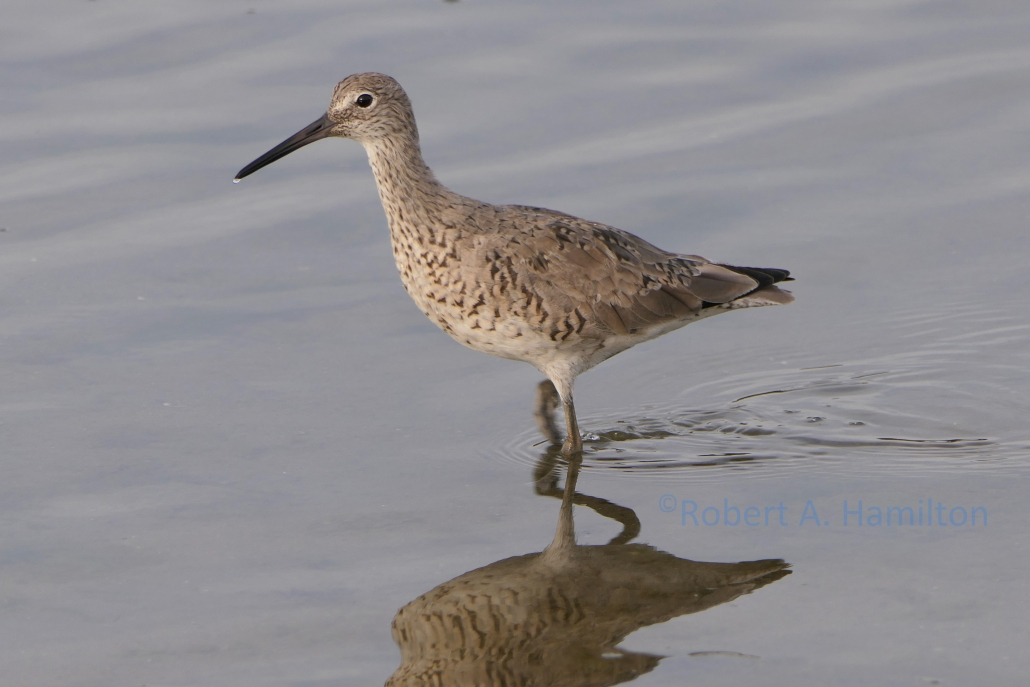 Willet, Colorado Lagoon, Long Beach CA