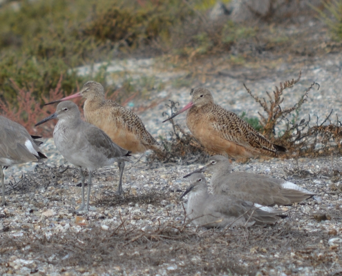 Willets and Marbled Godwits, © Cindy Crawford