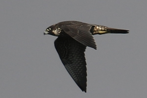 Peregrine Falcon © Jerry Millett